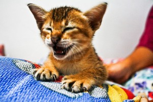 Laughing Cat by Sham Hardy via Flickr