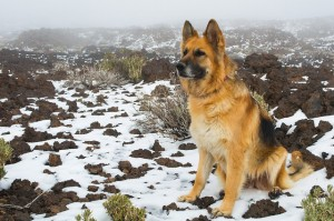 German Shepherd by perlaroques via Flcikr