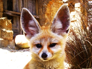 fennec-fox-ears-by-caninest-via-flickr